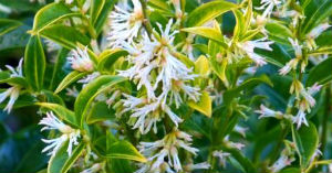 Plant of the Month – Sarcococca Sweet Box